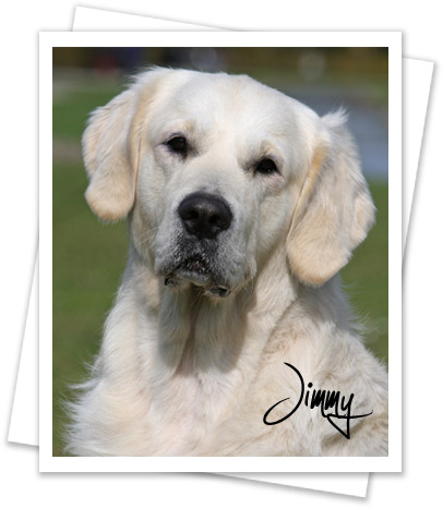 Golden Retriever Jimmy