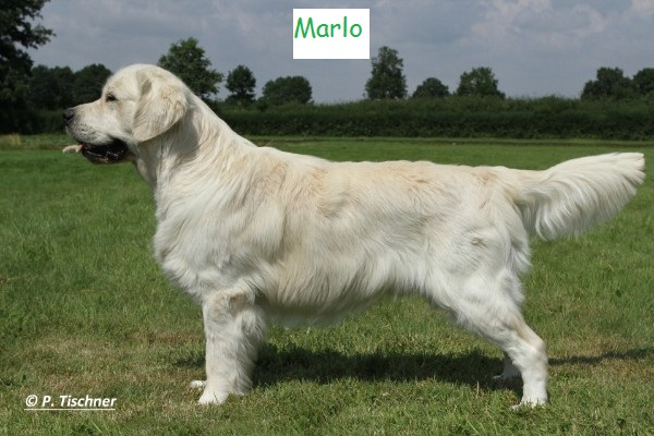 Golden Retriever Marlo